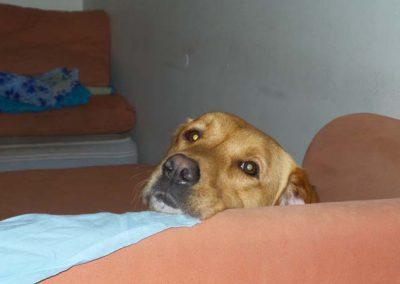 Labrador-retriever-karrie-galerie2