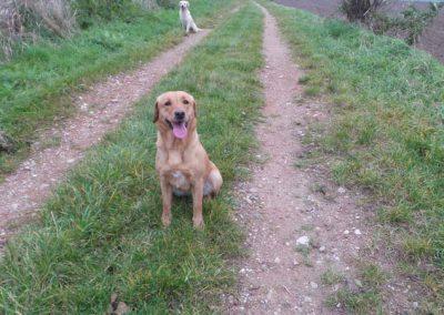 Labrador-retriever-karrie-galerie5