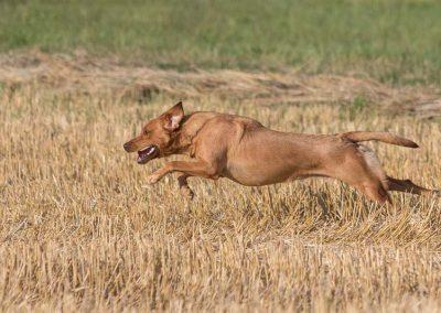 labrador-retriever-hornet-galerie-13
