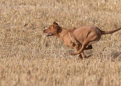 labrador-retriever-hornet-galerie-14