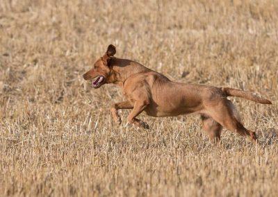 labrador-retriever-hornet-galerie-15