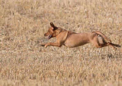labrador-retriever-hornet-galerie-16