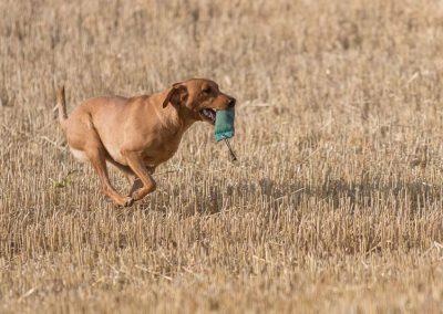 labrador-retriever-hornet-galerie-18