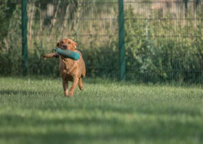 labrador-retriever-hornet-galerie-4
