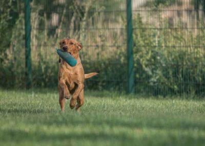labrador-retriever-hornet-galerie-5